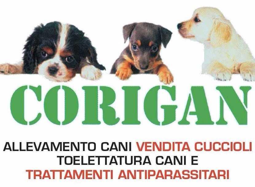 Allevamento Del Corigan Vendita Cuccioli Carpenedolo Brescia