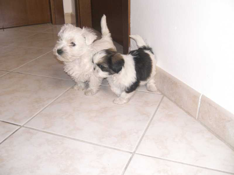 shih-tzu e west hingland white terrier