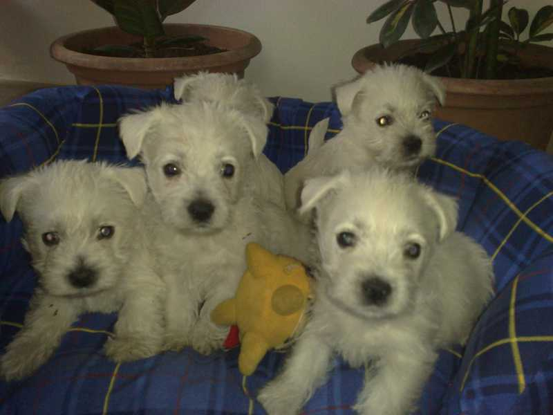 west hingland white terrier